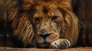 triste World Lion Day
